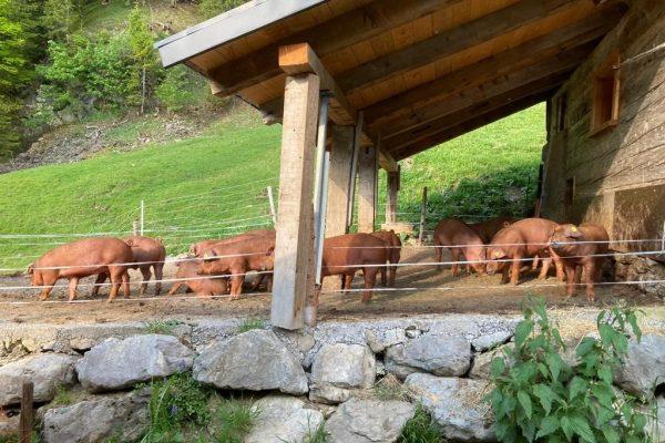 Alpschweine 7 Duroc